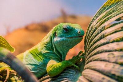 Fototapete fiji banded iguana