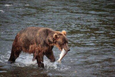 Fototapete Fischerei Bär