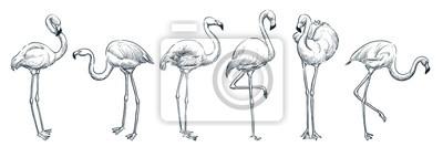 Fototapete Flamingo in various poses, vector sketch illustration. Tropical birds hand drawn print design elements set