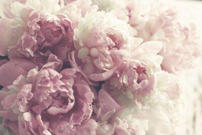 Fototapete Flaumige rosa Pfingstrosen blüht Hintergrund