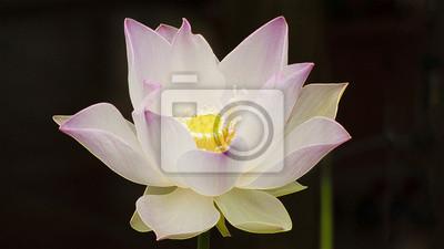 Fleur De Lotus Eclose La Réunion Fototapete Fototapeten