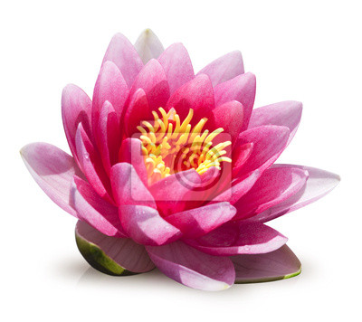 Fleur De Lotus Sur Fond Blanc Fototapete Fototapeten Fülle