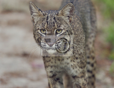 Florida Bobcat in der Wildnis