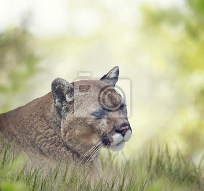 Florida Panther oder Puma