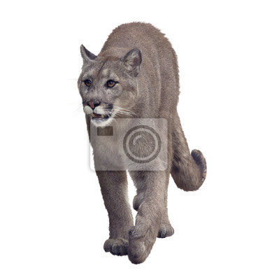 Florida Panther oder Puma Malerei