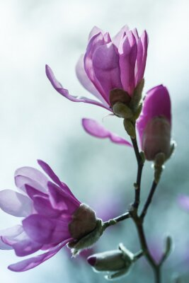 Fototapete Flowering pink magnolia