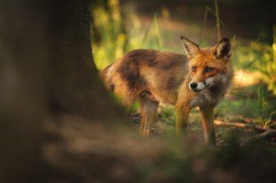 Fototapete Fox auf Sommer Wald
