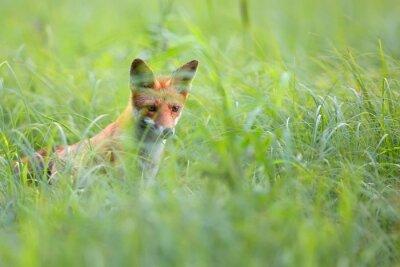 Fototapete Fox versteckt im Gras in freier Wildbahn