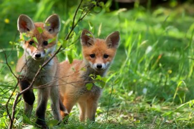 Fototapete Foxes in the wild