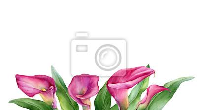 Frame Border With A Pink Calla Lily Zantedeschia Rehmannii Flower