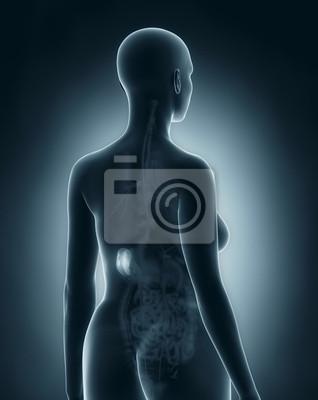 Frau milz anatomie röntgen schwarz hinteren ansicht fototapete ...
