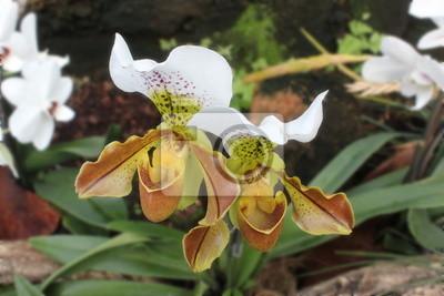 Frauenschuh-Orchidee (Paphiopedilum)