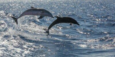 Fototapete frei schwimmende Delfine vor Teneriffa