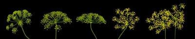 Fototapete fresh dill flowers on black background