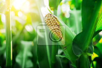 Fototapete Frische cob von reif Mais auf der grünen Wiese bei Sonnenuntergang