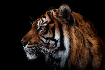 Fototapete Front view of Sumatran tiger isolated on black background. Portrait of Sumatran tiger (Panthera tigris sumatrae)