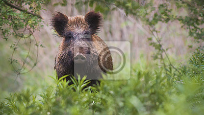 Fototapete Front view of wild boar, sus scrofa, standing partially hidden in tall vegetation in spring forest. Wild animal in nature facing camera with copy space.