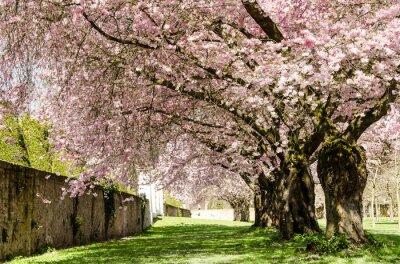 Fototapete Frühlings-Traum: Japanische Kirschblüten :)