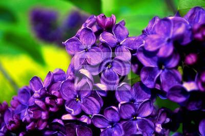 Fruhlingsblumen Des Gartens Der Flieder Im Fruhjahr Lila Blumen