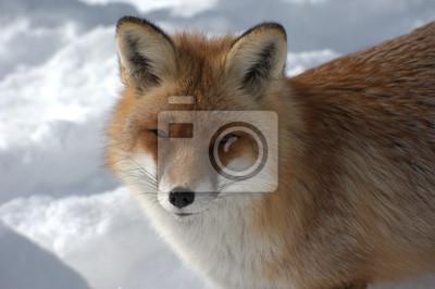 Fuchs Im Winter Fototapete Fototapeten Rotfuchs Fox Saugetier