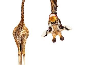 Fototapete Fun cute upside down portrait of giraffe on white