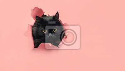 Fototapete Funny black cat looks through ripped hole in pink paper. Peekaboo. Naughty pets and mischievous domestic animals. Copy space. Yellow eyes.
