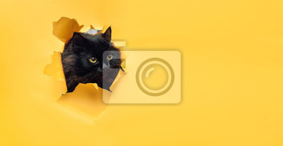 Fototapete Funny black cat looks through ripped hole in yellow paper. Naughty pets and mischievous domestic animals. Peekaboo. Copy space.