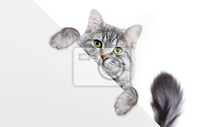 Fototapete Funny gray tabby kitten showing placard with space for text. Lovely fluffy funny cat holding signboard on isolated background. Top of head of cat with paws up, peeking over a blank white banner.