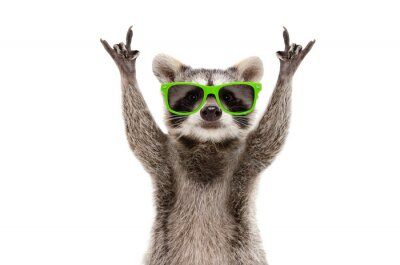 Fototapete Funny raccoon in green sunglasses showing a rock gesture isolated on white background