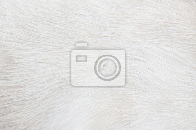 Fototapete Fur cat light gray or white  texture abstract for background , Natural animal patterns skin