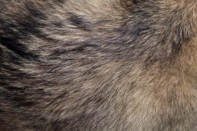 Fototapete Fur of Wolf / Zusammenfassung Textur Hintergrund der Pelz des Wolfs.