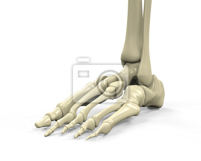 Fuß-skelett anatomie fototapete • fototapeten shinbone, Mittelfuß ...