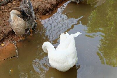 Fütterung Enten schwimmen im Pool.