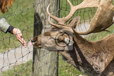 Fütterung von einem Hirsch an einem Zaun