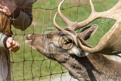 Fütterung von einem Hirsch auf der Koppel