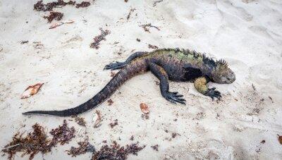 Fototapete Galapagos marine Leguan