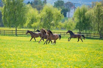 Fototapete Galopoierende Jungpferde auf der Weide
