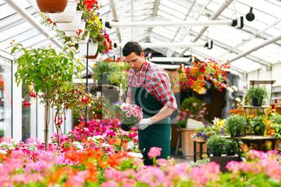 Gärtner arbeitet in einem gewächshaus mit blumen // gärtner arbeitet ...