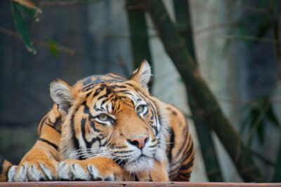 Fototapete Gefährdeten Sumatra-Tiger