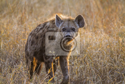 Gefleckte Hyäne im Krüger-Nationalpark, Südafrika;  Art Crocuta crocuta Familie der Hyaenidae