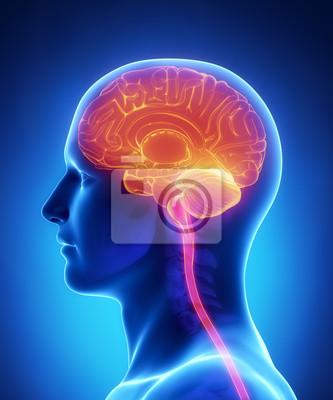 Gehirn-anatomie - querschnitt fototapete • fototapeten brainpan ...