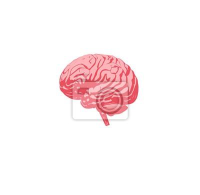 Gehirn infografisch. anatomische symbol des gehirns auf weißem ...