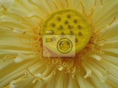Gelber Lotus