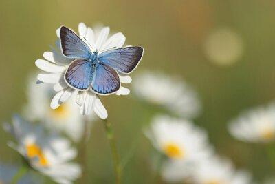 Fototapete Gemeinsame Blue Butterfly