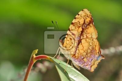 gemeinsame cunchinello Schmetterling