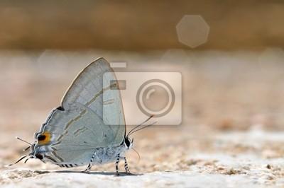 Gemeinsame Tit Schmetterling