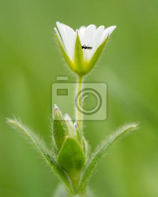 Gemeinsames mausohr (cerastium fontanum) mit chalkidischer wespe ...