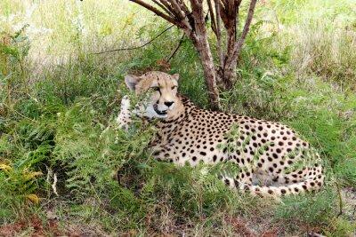 Fototapete Gepard 03
