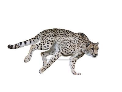 Gepard (Acinonyx jubatus) Laufen