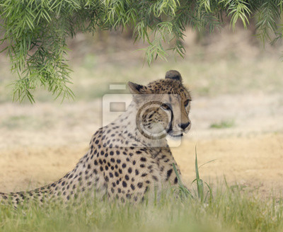Gepard (Acinonyx jubatus) Stillstehen